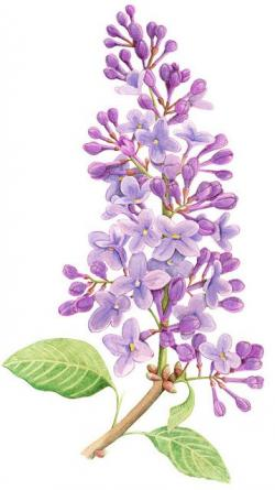 Drawn orchid lilac bush