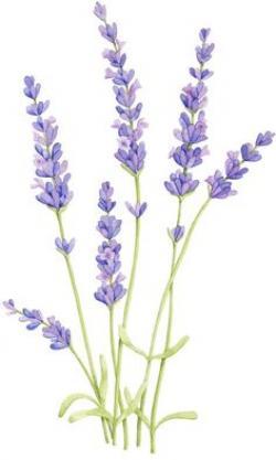 Drawn lavender simple