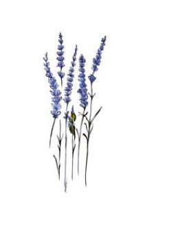 Drawn lavender sketch