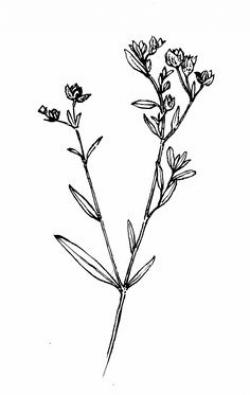 Drawn wildflower delicate flower