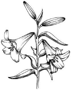 Drawn lily
