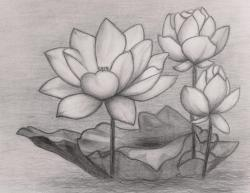Drawn lotus pencil sketch