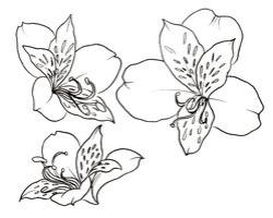 Drawn lily peruvian lily