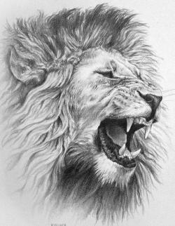 Drawn lion anger