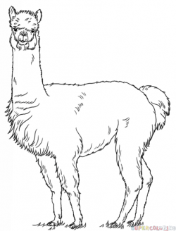 Drawn alpaca drawing