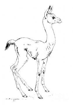 Drawn llama lama