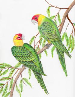 Drawn parakeet colorful