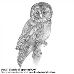 Drawn owl spotted owl