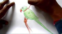 Drawn parakeet step by step