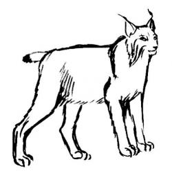 Drawn lynx drawing
