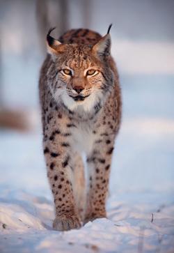 Drawn lynx leopard