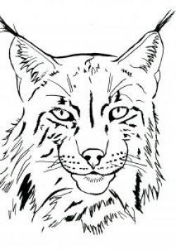 Drawn lynx lynx cat