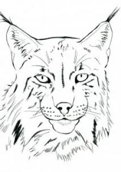 Drawn lynx lynx head