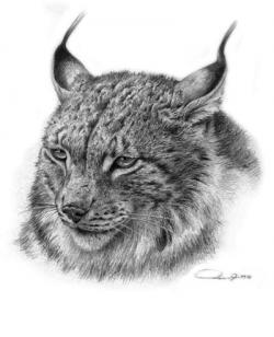 Drawn lynx realistic
