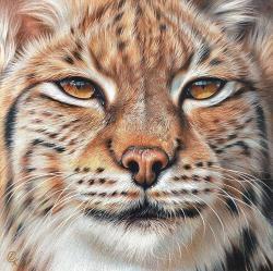 Drawn lynx wild animal