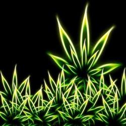 Drawn cannabis pick