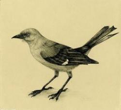 Drawn mockingbird realistic