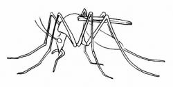 Drawn mosquito sketch