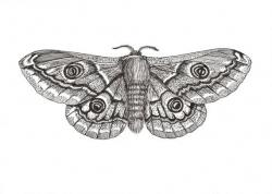 Drawn moth