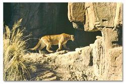 Drawn cougar texas