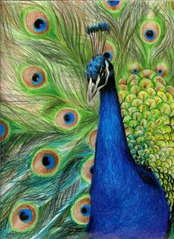 Drawn peafowl pencil sketch