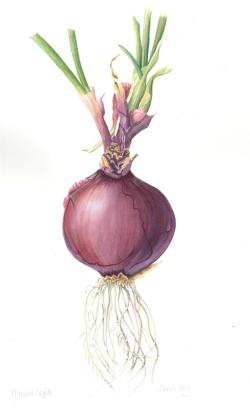 Drawn onion