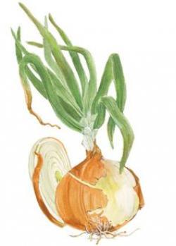 Drawn onion botanical