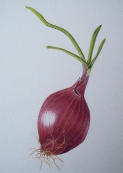Drawn onion red onion
