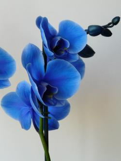 Drawn orchid blue orchid