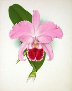 Drawn orchid cattleya