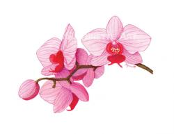 Drawn orchid pink orchid