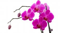 Drawn orchid purple orchid