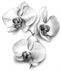 Drawn orchid sketch