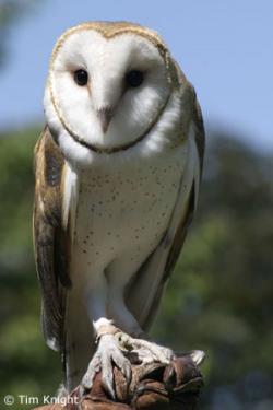 Drawn owlet california