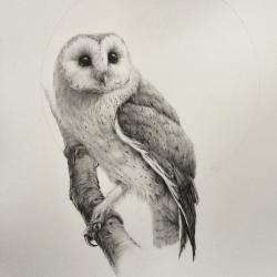 Drawn owlet barn owl