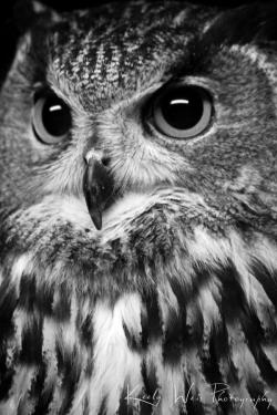 Drawn owl photography