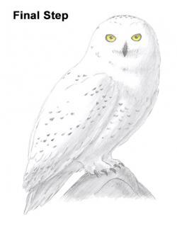 Drawn owlet snowy owl