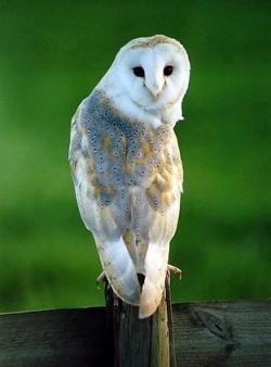 Drawn owlet washington state
