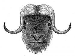 Drawn ox present