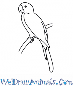 Drawn parakeet
