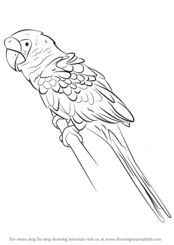 Drawn parrot macaw