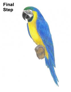Drawn parakeet blue and yellow macaw