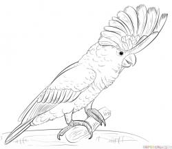 Drawn parrot cockatoo