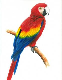 Drawn parakeet macaw