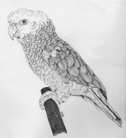 Drawn parakeet parrot head
