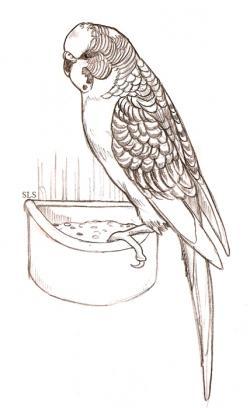 Drawn parakeet sketch