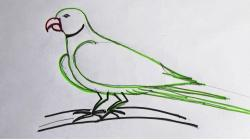 Drawn parrot sketch