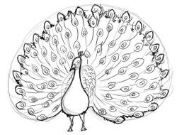 Drawn peafowl peacock dance