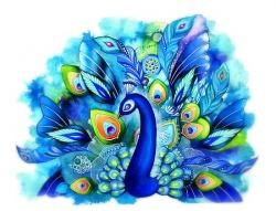 Drawn peafowl blue peacock