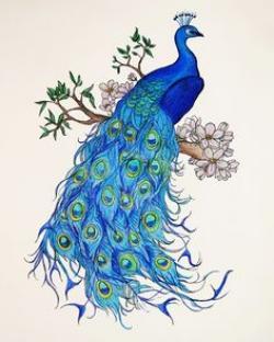 Drawn peafowl illustration